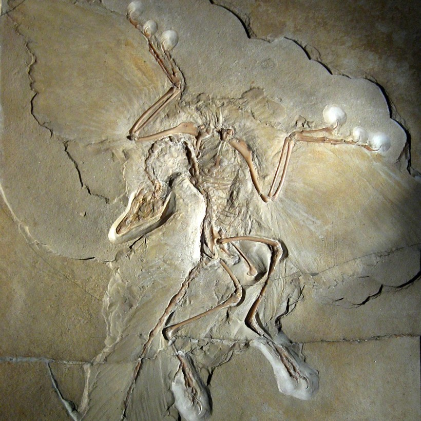 Archaeopteryx, the link between dinosaurs and birds