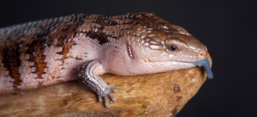 Irian Jaya Blue-tongued Skink