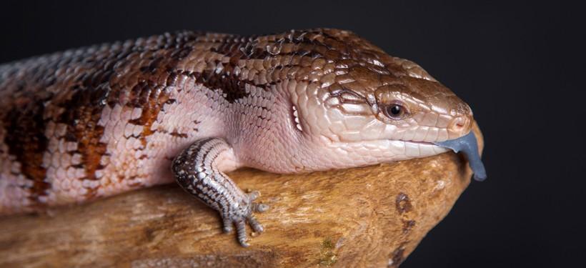 Irian Jaya Blue-tongued Skink
