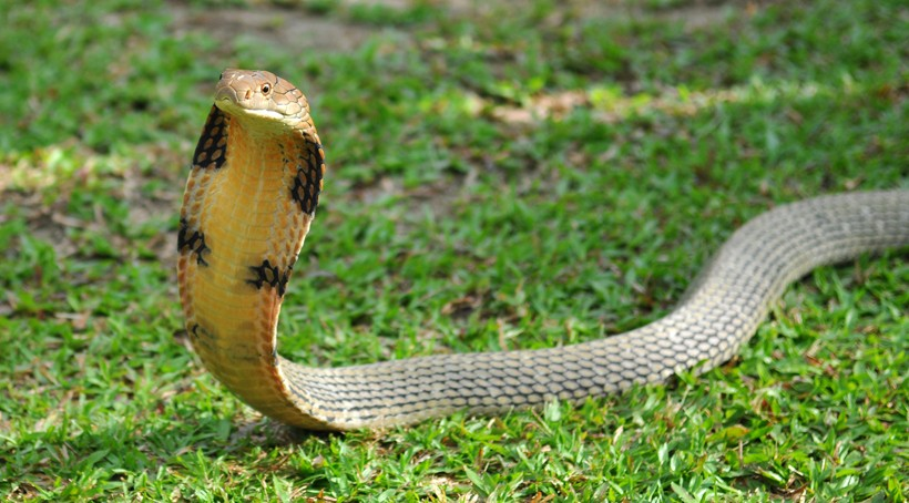 King Cobra, alert position