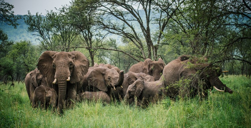African forest elephant group in the african forest, congo basin