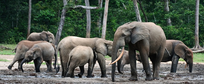 African forest elephant group in the mud