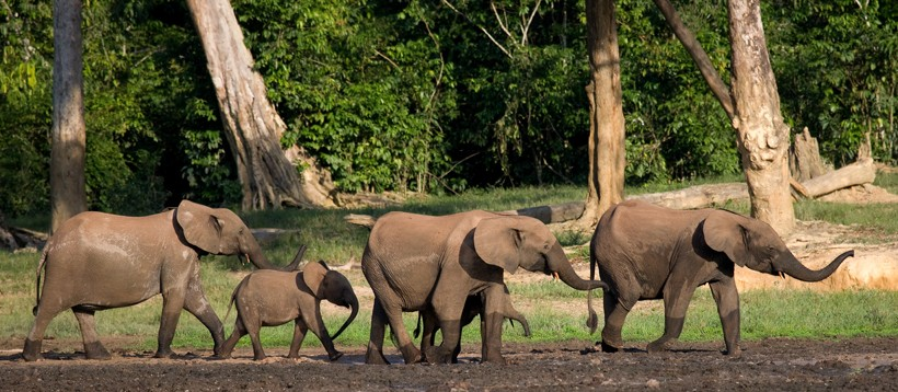 Group african forest elephants walking in congo, africa