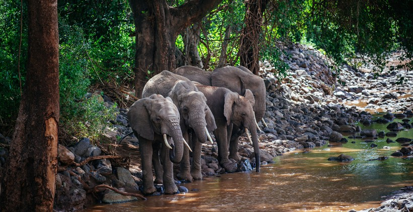 African forest elephant loxodonta cyclotis about animals african forest elephants in their natural habitat in congo africa sciox Image collections