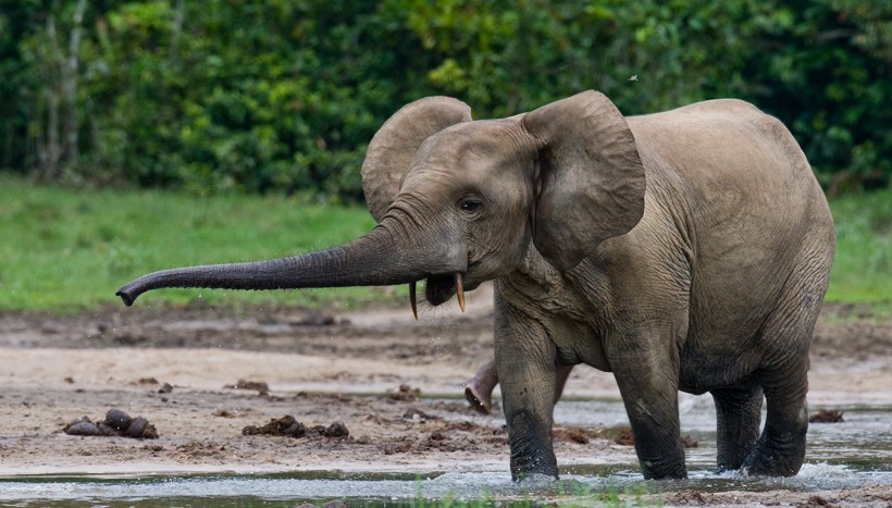 african forest elephants' extremely long tusk