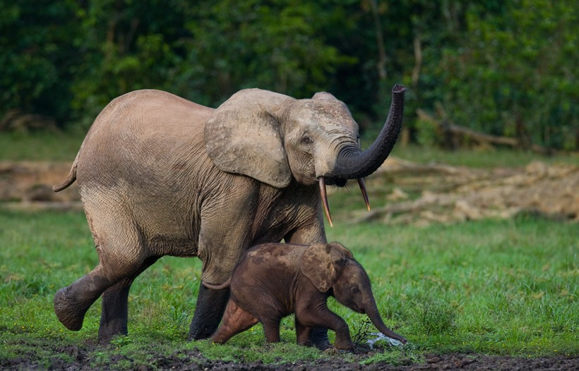 African forest elephant with cub