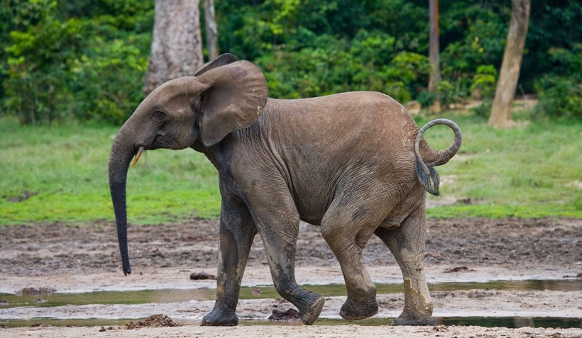 African forest elephant walking