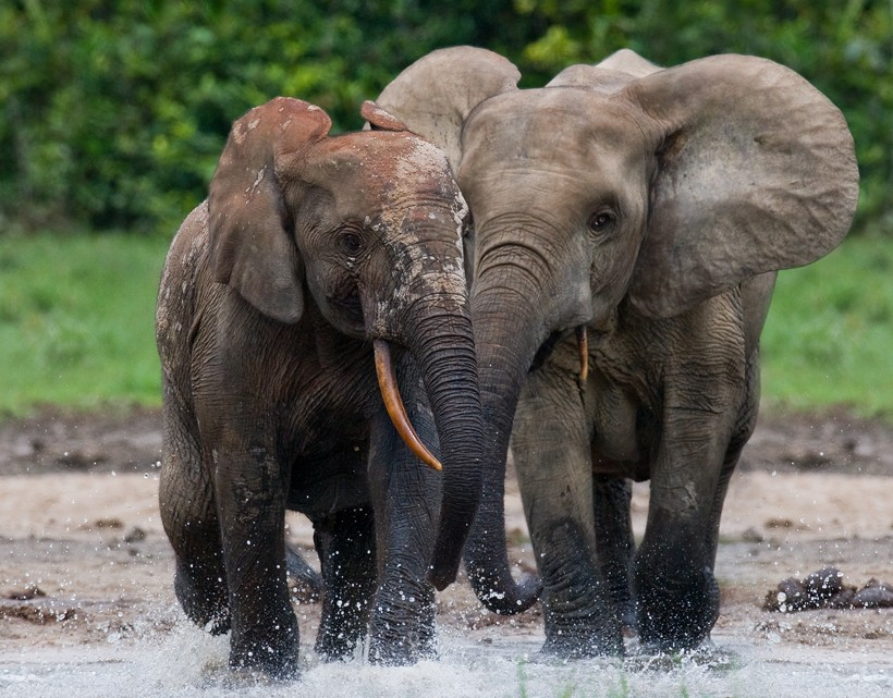 Two african forest elephants walking trough the water