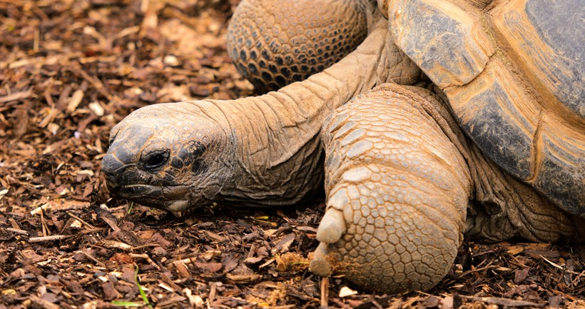aldabra tortoise lying, islands of the Aldabra Atoll (Seychelles)
