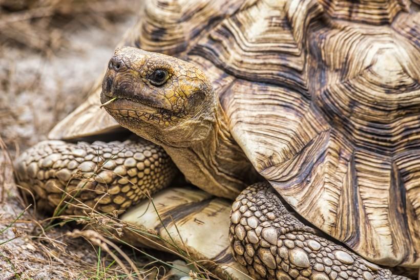 Aldabra Tortoise Aldabrachelys Gigantea About Animals