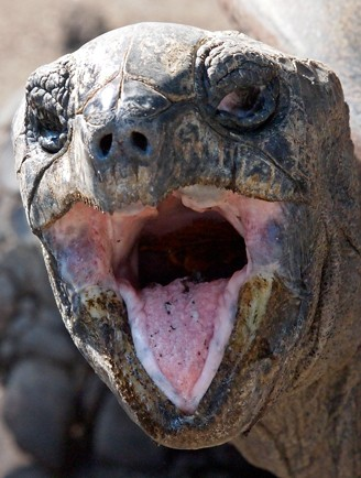 Giant Aldabra Tortoise with its mouth open