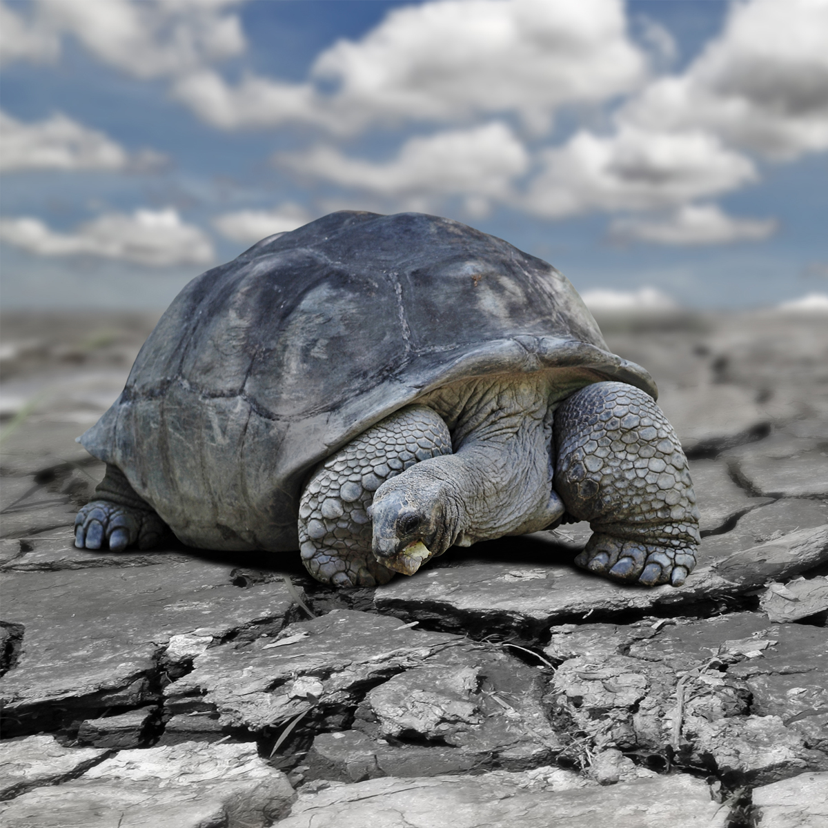 Aldabra Tortoise (Aldabrachelys gigantea) | about animals