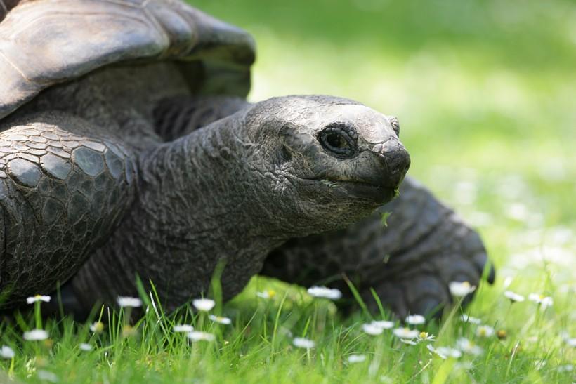 Turtoise walking on a grassfield