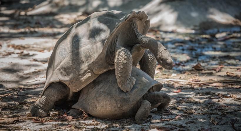 Aldabra tortoises mating