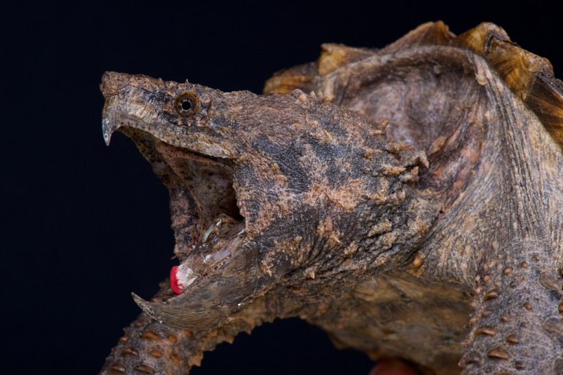 Closeup head Alligator Snapping Turtle
