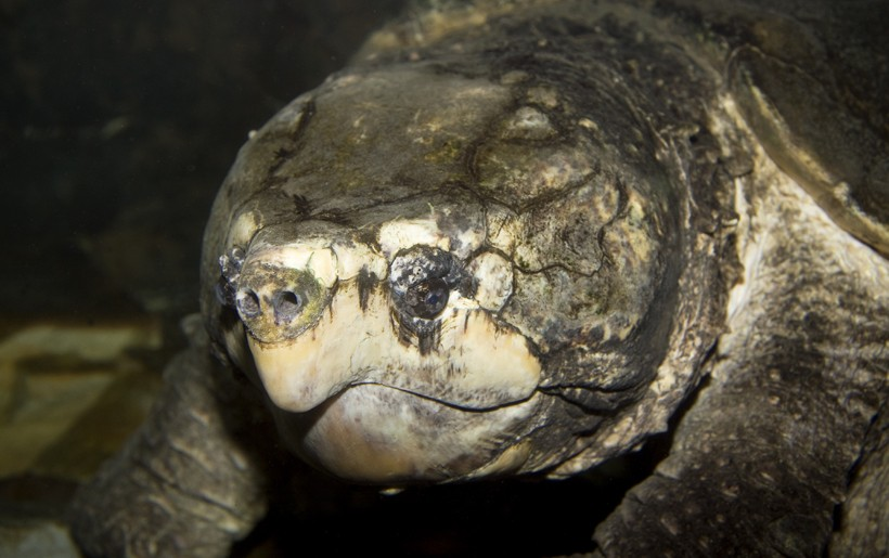 Closeup head Alligator Snapping Turtle under water