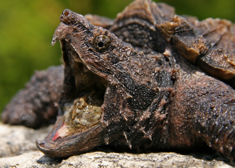 Strong jaws of the Alligator snapping turtle