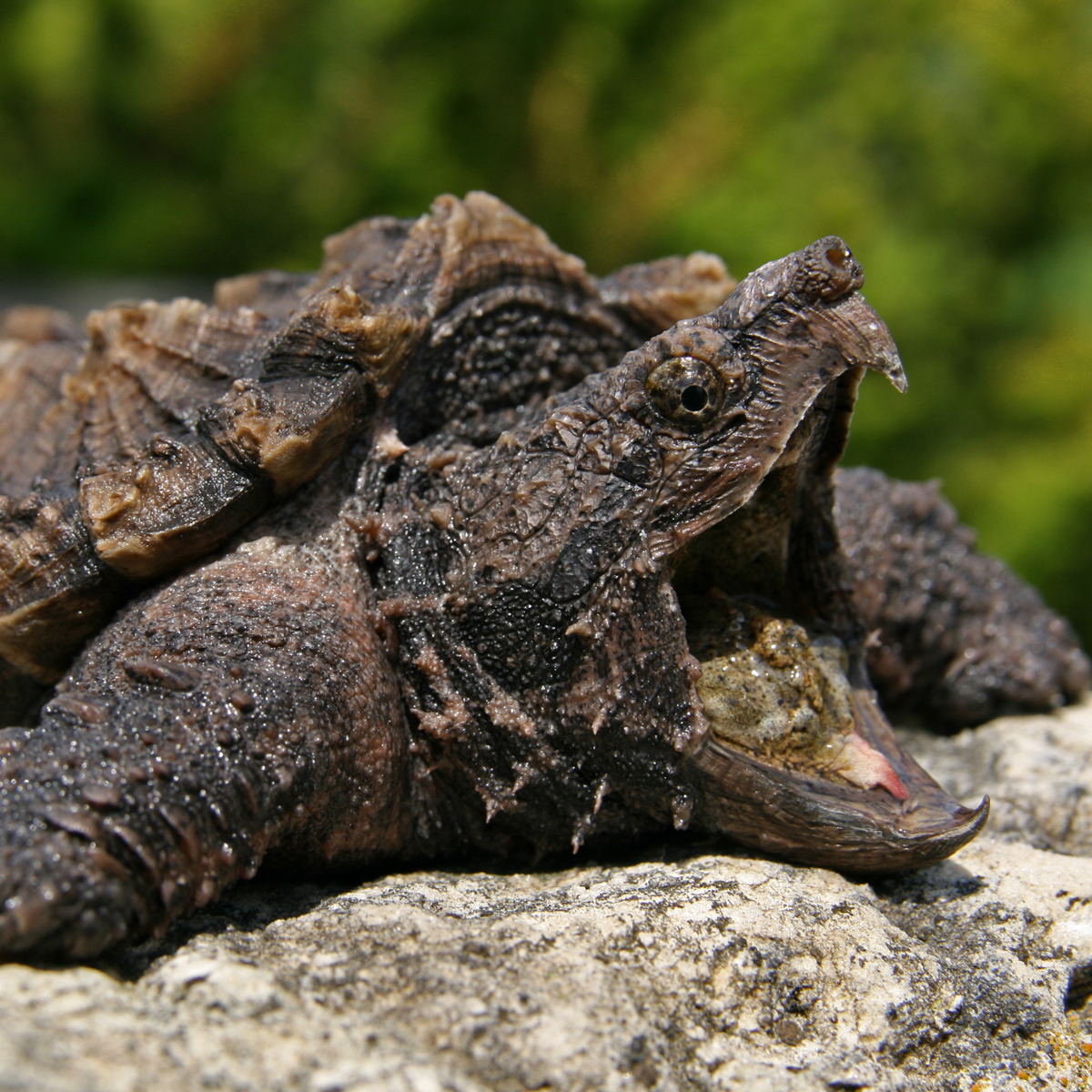 Alligator Snapping Turtle (Macrochelys temminckii) | about animals