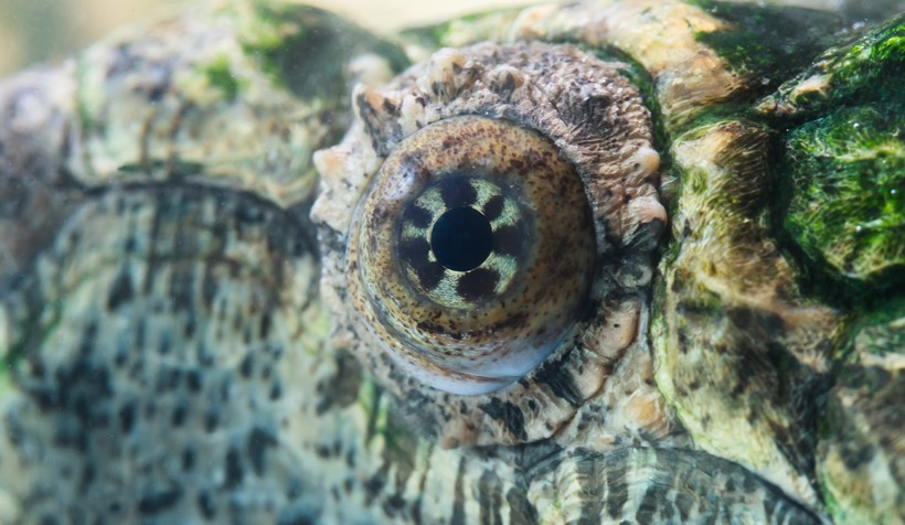 Radiated eye pattern of the Alligator Snapping Turtle