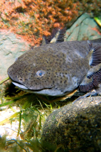 Axolotl Axanthic coloring (gray with black eyes)