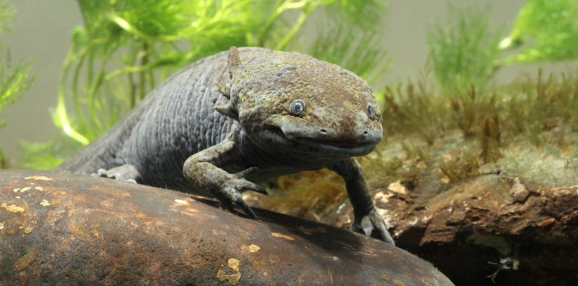 Axolotls communicate using visual and chemical cues which are prominent during the mating season.