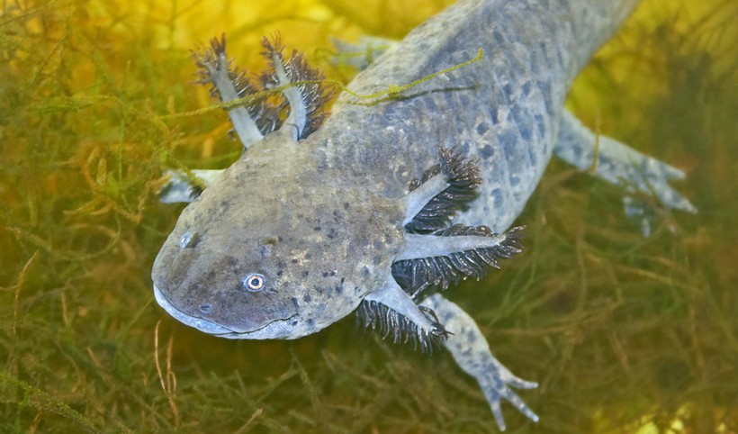 Axolotls are fully aquatic species that prefer freshwater lakes and ponds enriched with heavy vegetation.