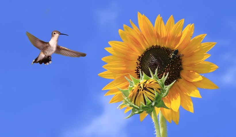 Female black-chinned hummingbird hovering to huge sun flower