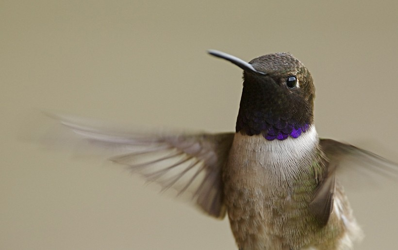 The black-chinned hummingbird has a heartbeat of approximately 1,260 p/m in flight and up to 480 in rest.