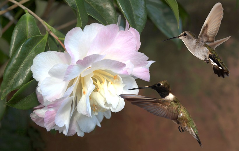 Male and female black-chinned hummingbird pair, Camellia Blossom