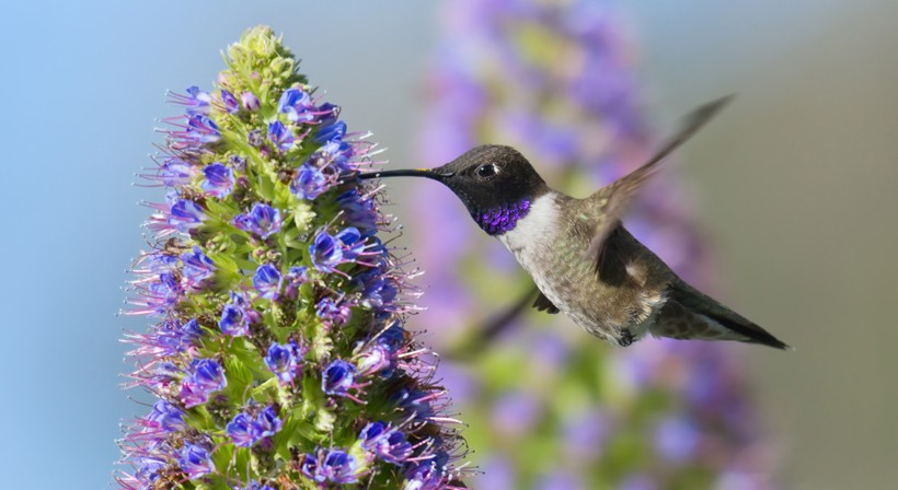 Male black-chinned hummingbird feeding on a Pride of Madeira flower