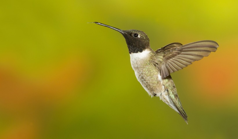 Black-chinned hummingbirds are a solitary, diurnal species
