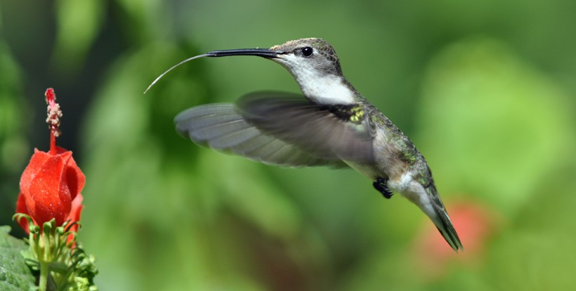 Female black-chinned hummingbird, tongue ready to feed on the flowers