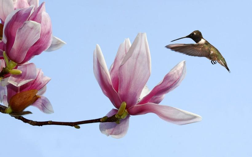Black-chinned hummingbird inspecting the tulip tree blossom