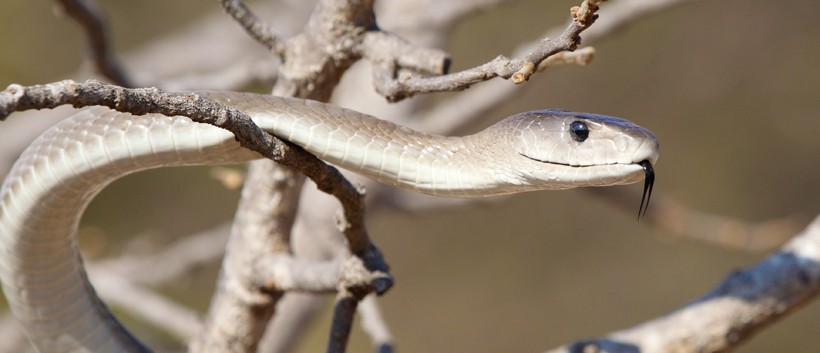 The black mamba is an arboreal snake