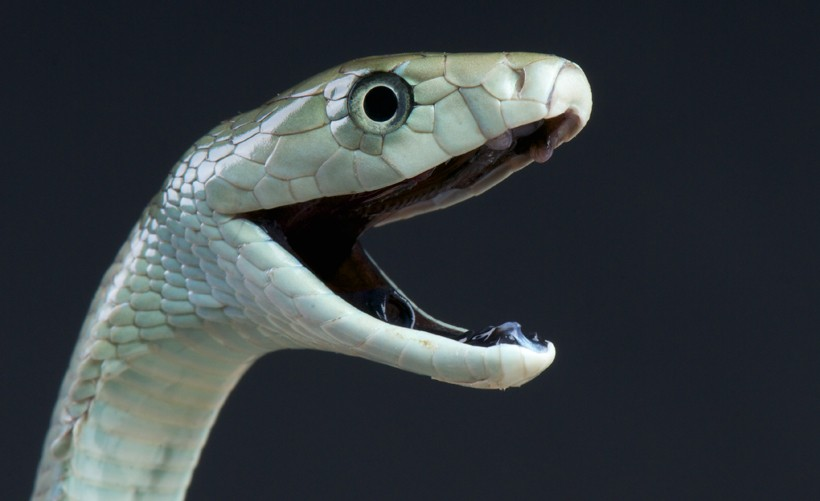 Black mamba, mouth open, inky-black interiors mouth