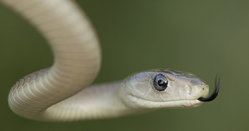 Black mamba flickering tongue