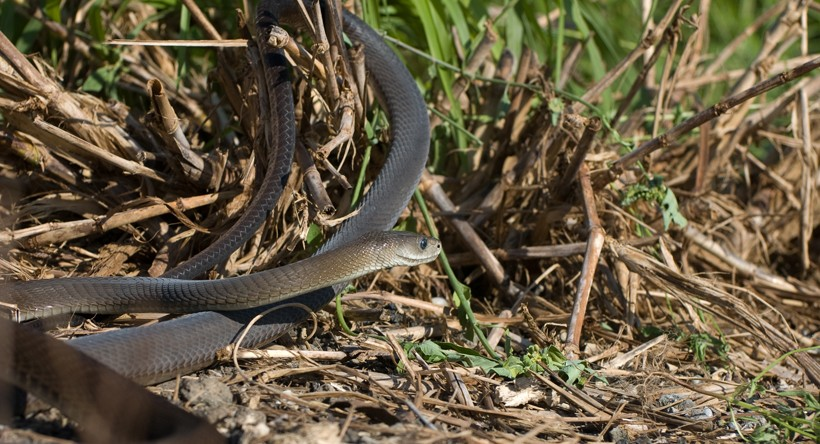 Long black mamba on the ground