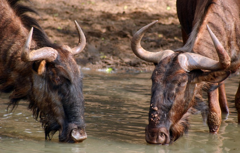 Black wildebeests drinking from a water hole in South Africa
