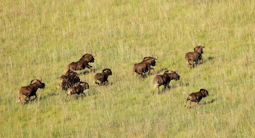 Aerial view of black wildebeest running in grassland, South Africa