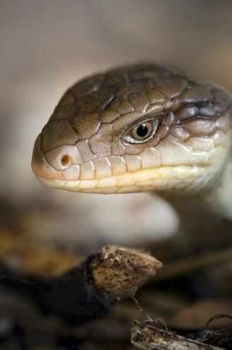 Head of the blotched blue-tongued skink