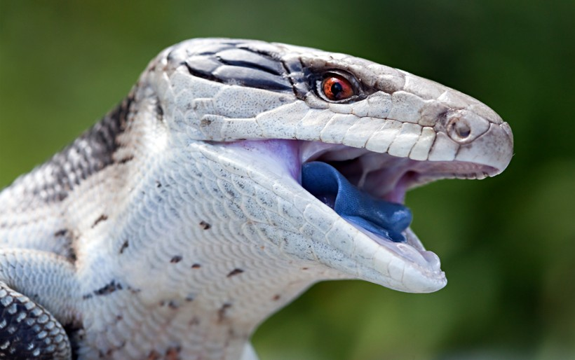 Blue tongue of the skink