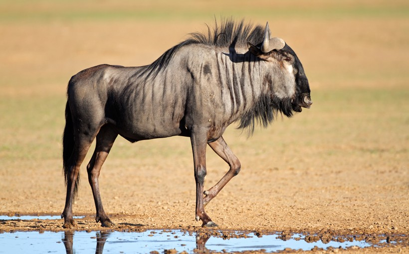Blue wildebeest at a waterhole, Kalahari desert, South Africa