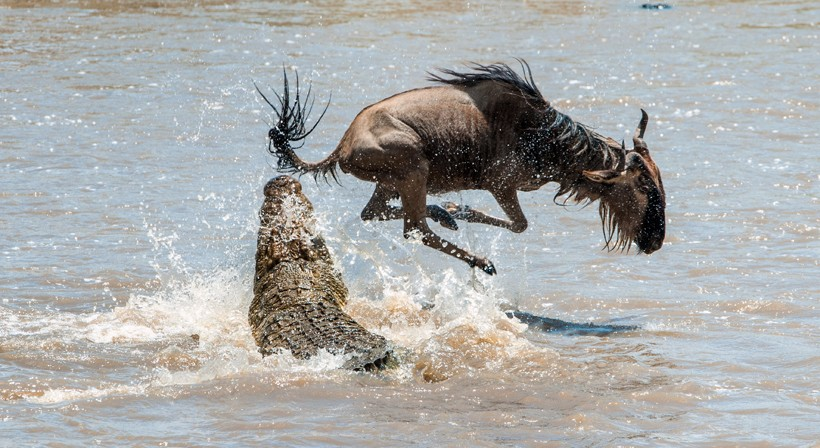 Blue wildebeest attacked by a crocodile while crossing the river Mara