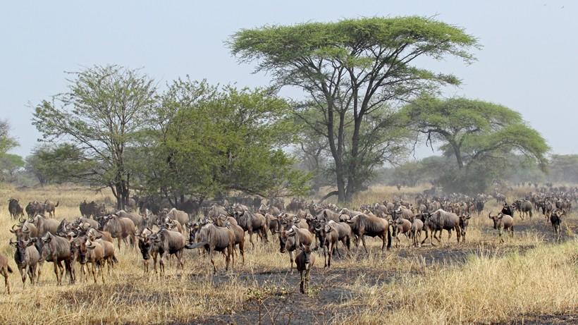 Herd of blue wildebeests