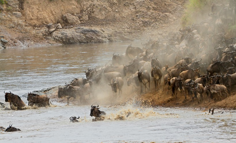 Migratory blue wildebeest, crossing the Mara river, Masai Mara National Reserve, Kenya