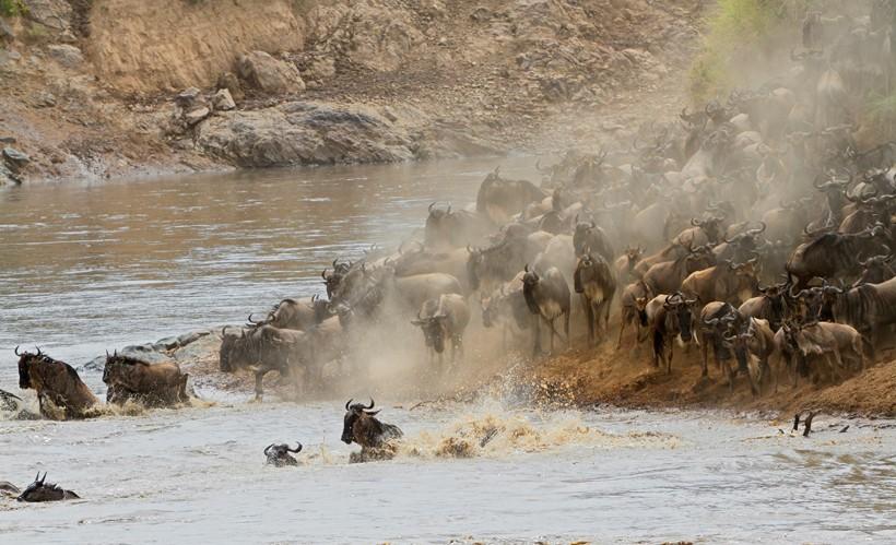 Migratory blue wildebeest, crossing the Mara river, Masai Mara National Reserve, Kenya