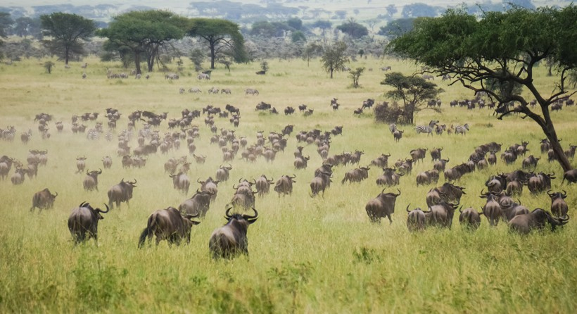 Blue wildebeest migration herd, African savannah