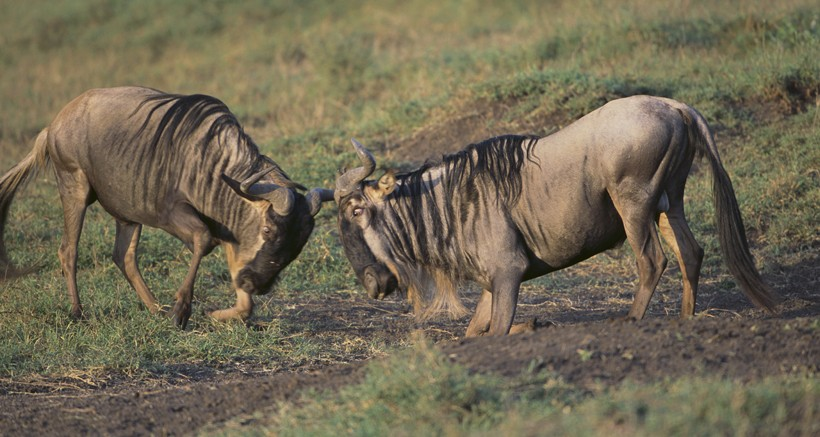 Blue wildebeests in rut competing