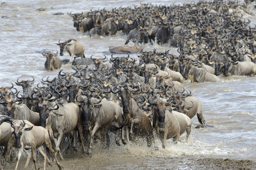 Blue wildebeest migration, river crossing