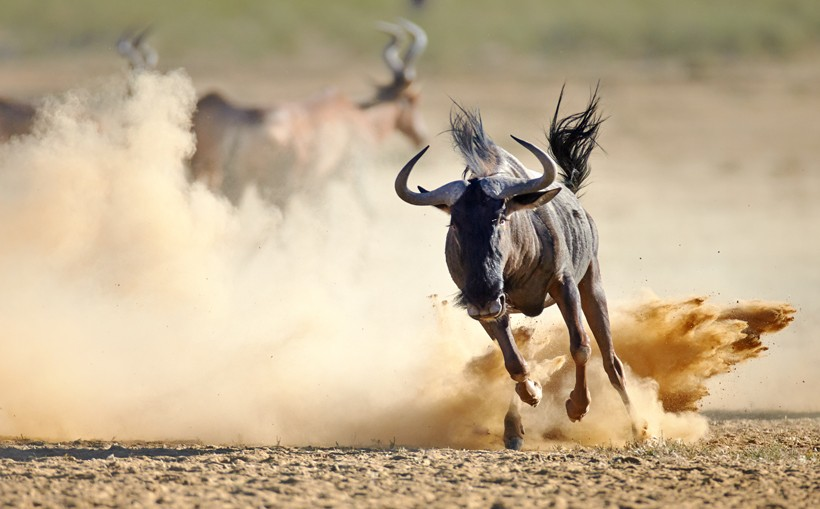 Blue wildebeest running on dusty plains, Kalahari desert, South Africa